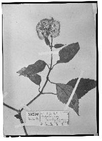 Image of Bartlettina constipatiflora