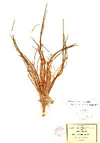 Lilaea scilloides image