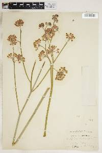 Asclepias albicans image