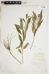 Image of Asclepias perennis