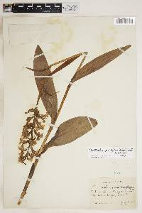 Image of Platanthera elegans