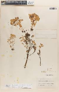 Image of Roseodendron donnell-smithii