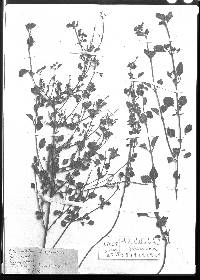 Image of Scutellaria seleriana