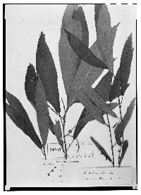 Image of Acalypha distans