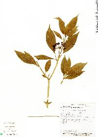 Image of Dendropanax querceti