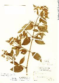 Image of Calea prunifolia