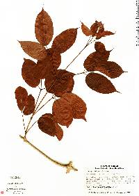 Image of Fridericia chica
