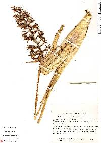 Image of Aechmea angustifolia