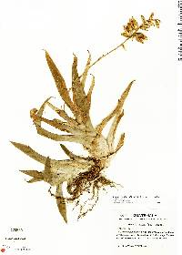 Image of Catopsis nutans