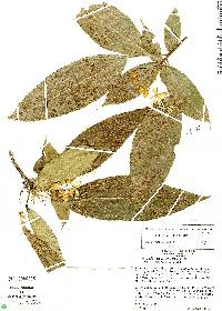 Image of Capparidastrum discolor