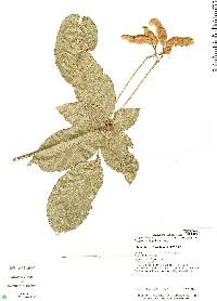 Image of Capparidastrum frondosum