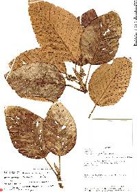 Image of Coussapoa brevipes