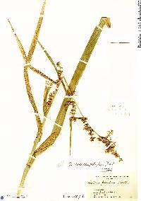 Image of Scleria macrophylla