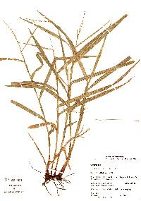 Image of Scleria microcarpa
