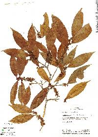 Image of Erythroxylum citrifolium