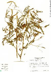 Image of Aeschynomene ciliata