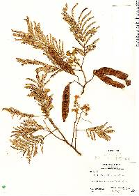 Image of Albizia carbonaria