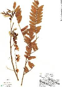 Image of Cassia moschata