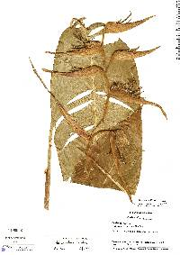 Image of Heliconia nutans