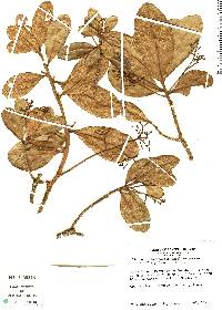Image of Aiouea costaricensis