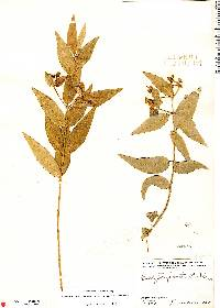 Image of Stigmaphyllon bannisterioides