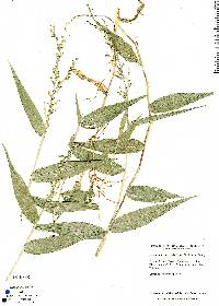 Image of Acroceras zizanioides