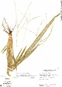 Image of Axonopus centralis