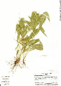 Image of Lithachne pauciflora