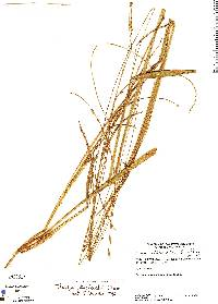 Image of Paspalum procerum