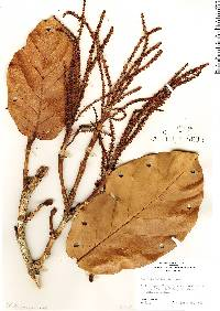 Image of Coccoloba belizensis