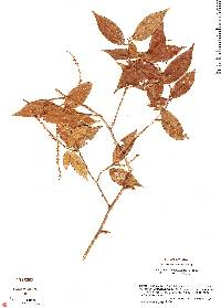 Image of Coccoloba cozumelensis