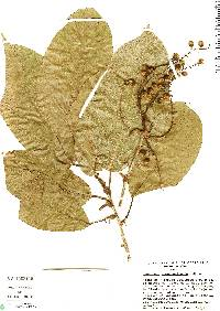 Image of Coccoloba guanacastensis