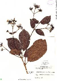 Image of Macrocnemum roseum