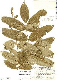 Image of Zanthoxylum ekmanii
