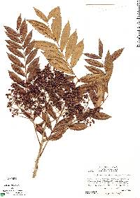 Image of Zanthoxylum microcarpum