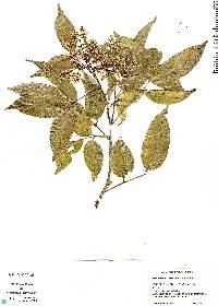 Image of Zanthoxylum juniperinum