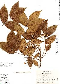 Image of Picrasma excelsa