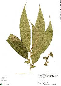 Image of Lycianthes amatitlanensis