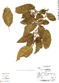 Image of Lycianthes synanthera