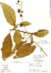 Image of Solanum volubile