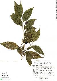 Image of Solanum pertenue
