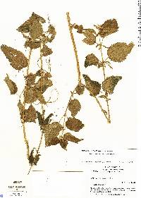 Image of Urtica mexicana