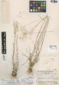 Image of Agrostis laxissima