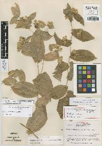 Image of Acourtia guatemalensis