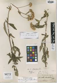 Image of Ageratum platylepis