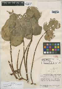 Image of Begonia confusa