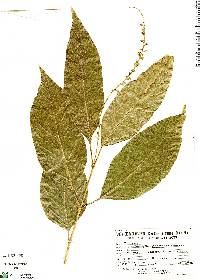 Image of Citharexylum donnell-smithii