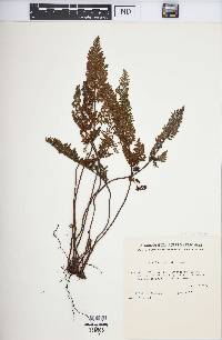Image of Cheilanthes induta