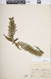 Image of Pteris swartziana