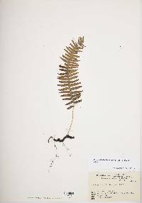 Image of Polypodiodes lachnopus